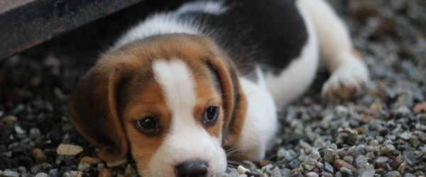 Ny hund til familien